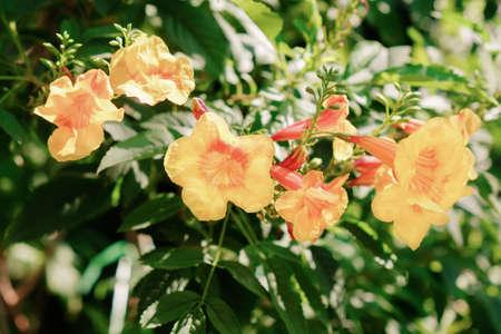 Trumpetflower in the garden. Yellow elder, Trumpetbush, Trumpetflower, Yellow trumpet-flower, Yellow trumpetbush (Tecoma stans) Soft focus.