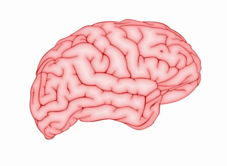 Human brain on white background. Side view. 免版税图像 - 150486681