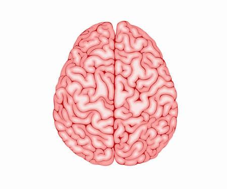 Human brain on white background. Top view. 免版税图像