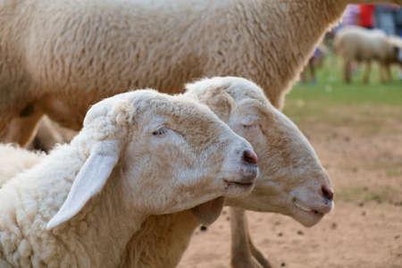 Portrait of sheep in farm.
