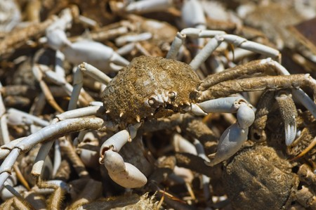 nearness: Remains of crabs Stock Photo