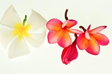 FrangipaniPlumeria flower Stock Photo