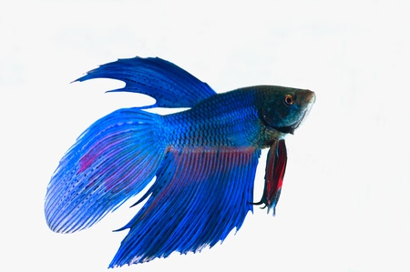 Blue Siamese fighting fish on white background.