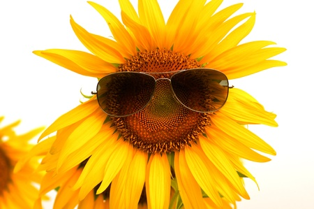 Sunflower with sunglasses isolated on white. Stock Photo