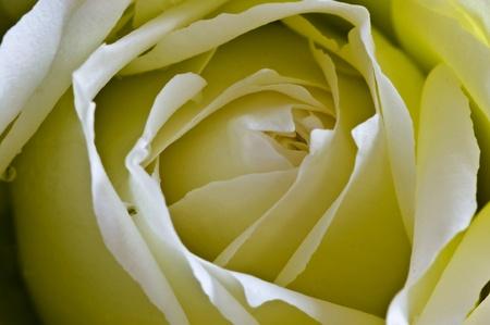 Close - up of yellow rose