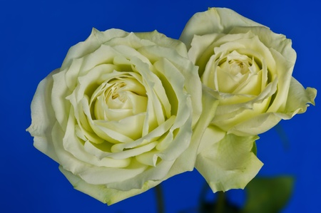 roses on blue background