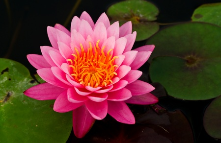Pink water lily Stock Photo - 13342381
