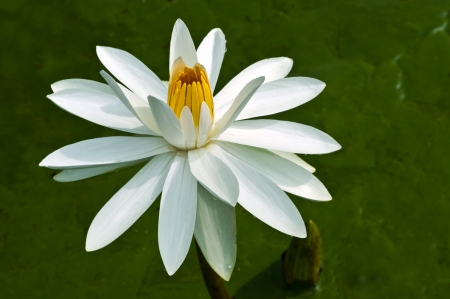White Water Lilly  Stock Photo