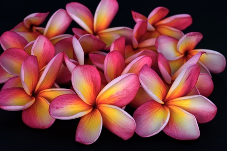 Frangipani flower  on black background  Stock Photo