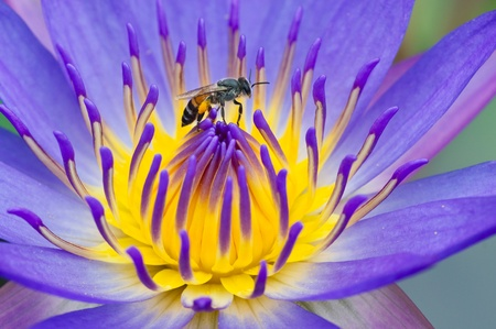 Bee on the water lily flower