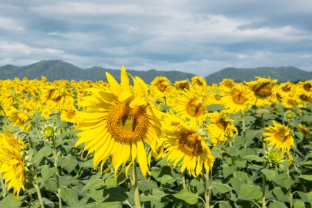 Sunflowers in field  Stock Photo