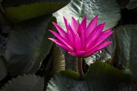 Pink lotus flower blooming on pond  Stock Photo