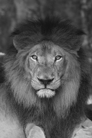 black and white portrait of a male lion with mane