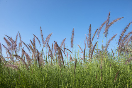 scrub grass: Grass flower in autumn