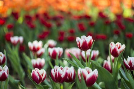 Field of colorful tulips in the spring