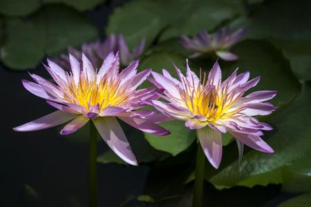 purple  lotus flowers blooming on pond