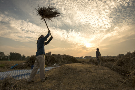 The traditional way of threshing grain in Thailand