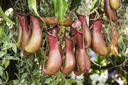 Tropical pitcher plant  nepenthes photo