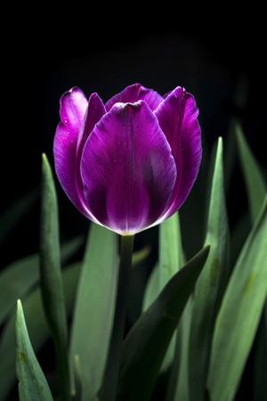 Purple Colored Tulip Isolated on black