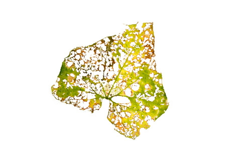 abstract of damage leaf with holes isolated on white Stock Photo