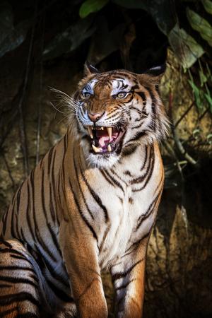 sumatran tiger: siberian tiger in action of growl