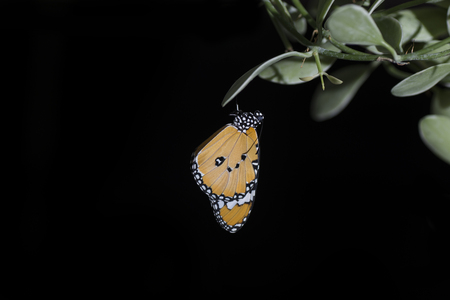 Beautiful butterfly hanging on leaves isolated on black.