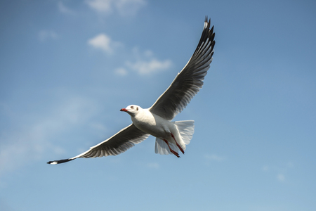 Seagull flying in blue sky Stock Photo