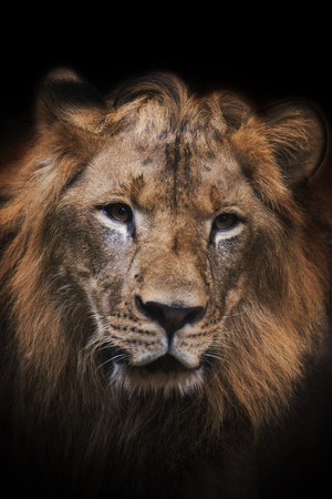 Beautiful Mighty Lion Stock Photo