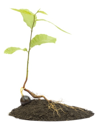 Newborn chestnut tree in dirt isolated on a white background photo