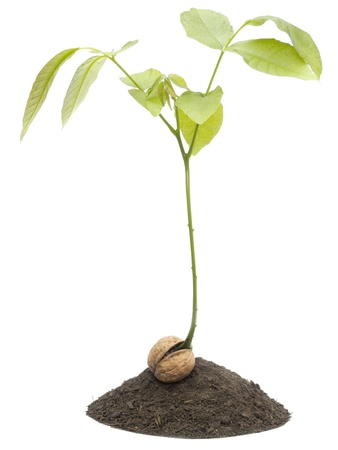Close-up of a walnut sapling isolated on a white photo