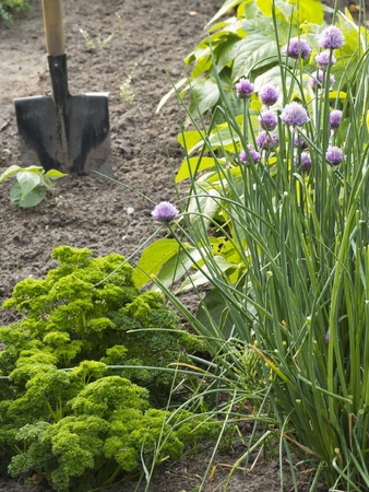 allotment: Parsley and Chives in vegetable garden with shovel Stock Photo