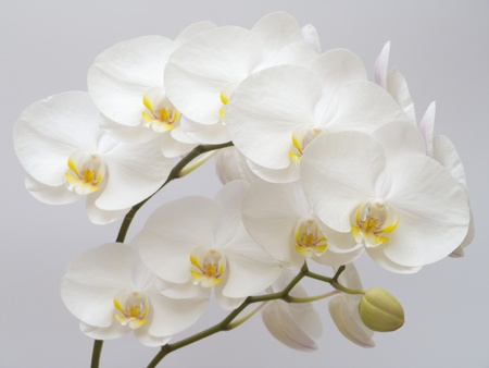 White Orchid on a gray background Stock Photo
