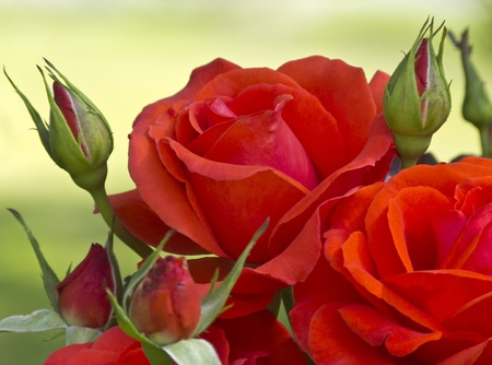 Red Roses on green background photo