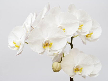 White orchid beauty with single bud on light gray background