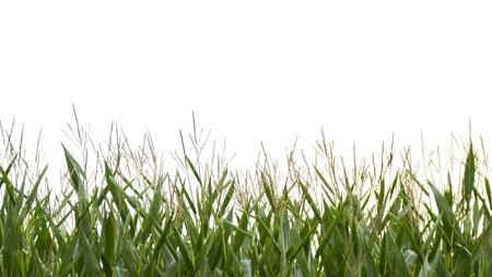 champ de mais: Haut de champ de ma�s sur fond blanc