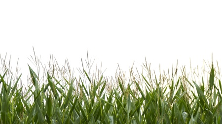 crop  stalks: Top of corn field on white background