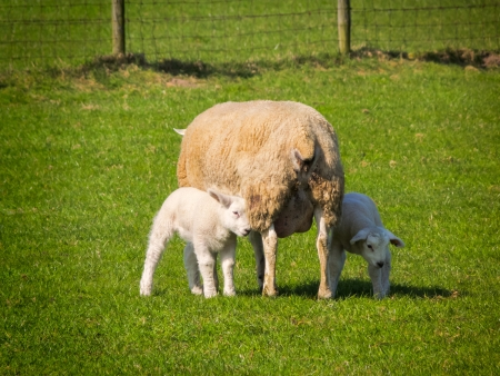 Mother sheep with lambs in grass with vignette photo