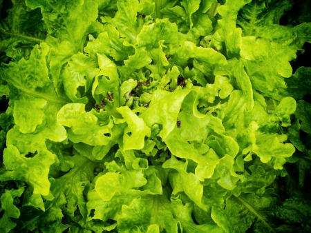 homegrown: Homegrown salad background with vignette Stock Photo