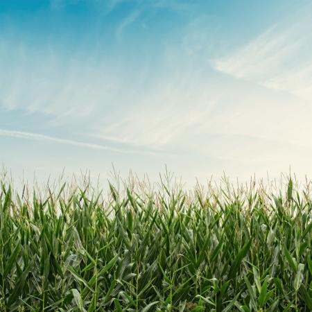 planta de maiz: Campo de ma�z en el cielo nublado con efecto vintage Foto de archivo