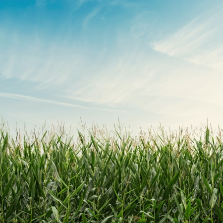 Corn field on cloudy sky with vintage effect Stock Photo