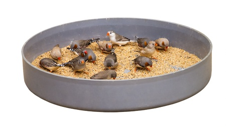 Feeding zebra finch in bowl isolated on white photo