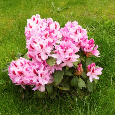 Young Rhododendron closeup in garden Stock Photo - 15017045