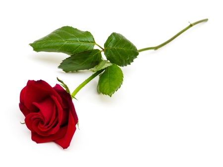 single object: Red rose on white background