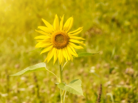 Single sunflower in natural environment Stock Photo - 15526312