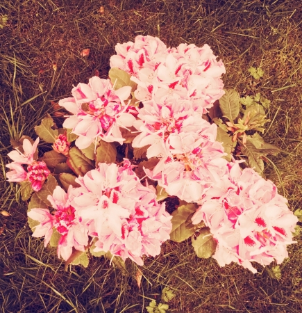 vintage look: Rhododendron vista dall'alto con look vintage