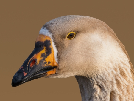 Goose head isolated on brown background photo