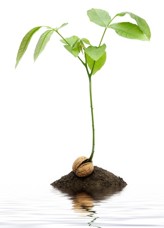 Tree growing out of walnut in dirt with water photo