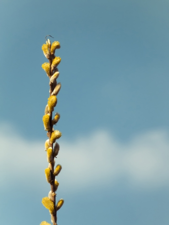 catkins: Catkins closeup on blue sky with clouds Stock Photo