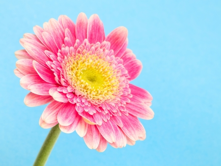Pink gerbera on blue background Stock Photo - 19580860