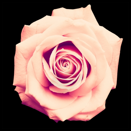 Vintage rose isolated on black with clipping path photo